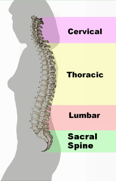 385px-Spinal_column_curvature_2011